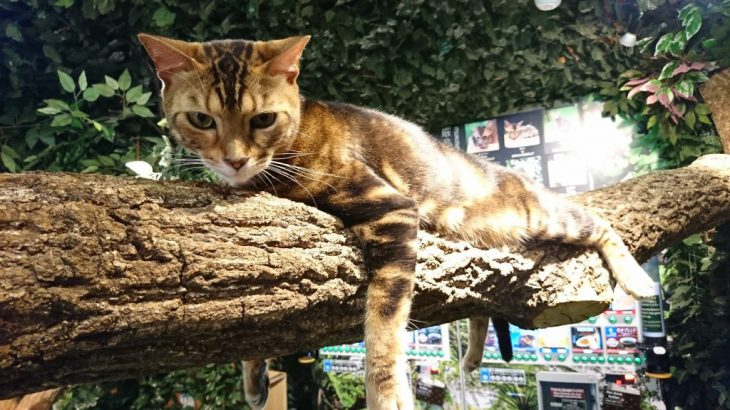 宮島にある猫カフェ、厳島ヒョウ猫の森へと行った!