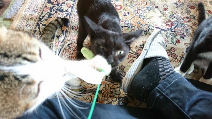 猫のお遊び草を使って猫ちゃんと遊んでみた!