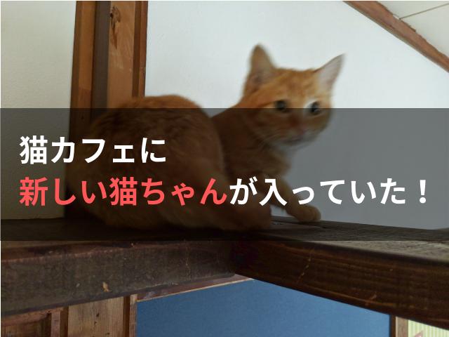 猫カフェに新しい猫ちゃんが入っていた!
