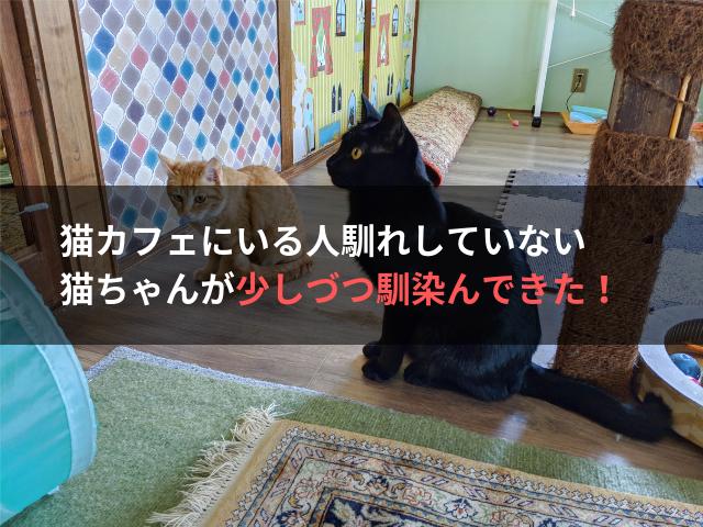 猫カフェにいる人馴れしていない猫ちゃんが少しづつ馴染んできた!