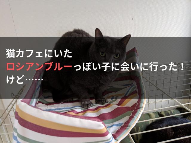 猫カフェにいたロシアンブルーっぽい子に会いに行った! けど……