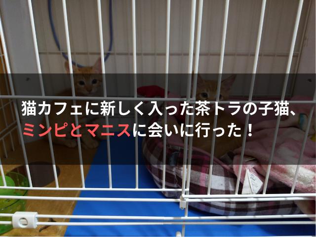 猫カフェに新しく入った茶トラの子猫、ミンピとマニスに会いに行った!