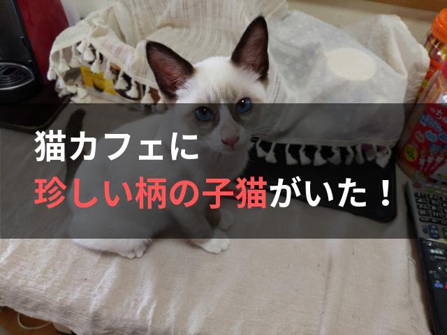 猫カフェに珍しい柄の子猫がいた!