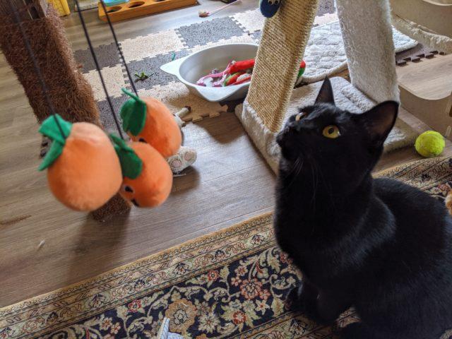 ハロウィーン仕様の猫じゃらしで猫ちゃんと遊んだ!