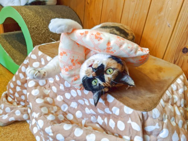 五匹の猫のチェリーちゃんが久々に術後服を脱いでいた!