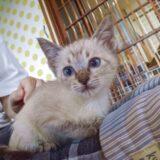 猫カフェでシャム猫風子猫に会った!