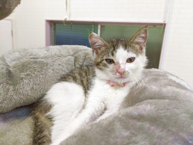 子猫に会いたい人は北九州市門司区の猫カフェりあんへ!