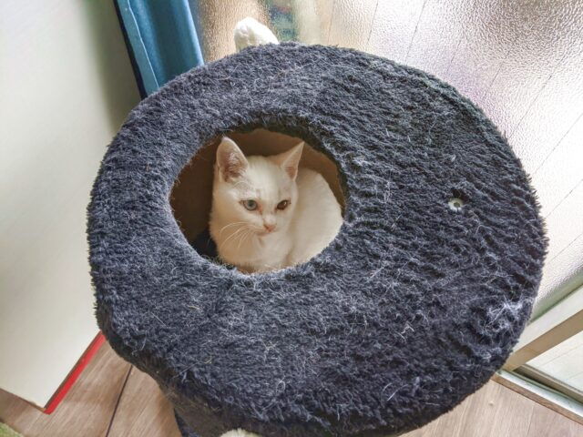 猫カフェにオッドアイの白い子猫がいた!