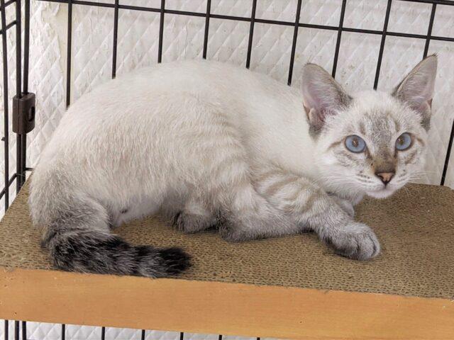今、一番猫カフェで可愛い子猫を紹介する